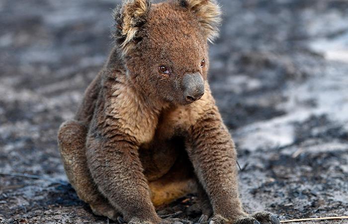 Millones de animales silvestres han perdido la vida en Australia (EFE).