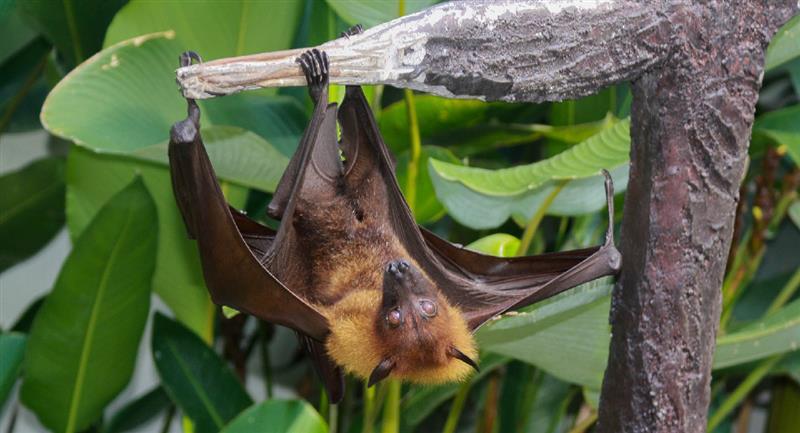 """Imágenes del """"Zorro volador"""" se vuelven viral en internet. Foto: Pixabay"""