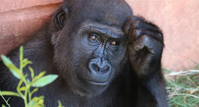 Avistan bebés de gorilas en grave peligro de extinción en Nigeria. Foto: Pixabay