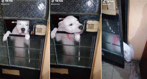 Perrito abre la puerta para invitar a sus amigos a su casa y se vuelve viral en Tik Tok