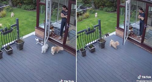 Tik Tok: Gato obligó a perritos a ingresar a su casa por no hacerle caso a su dueña