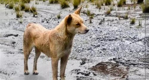 Reaparece el perro cantor, especie que se creía extinta hace más de 50 años