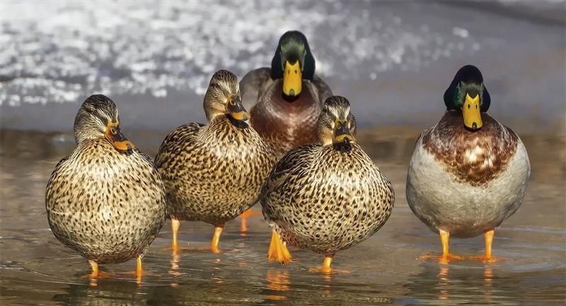 Invasión de patos podría acabar con plagas en cultivos de arroz. Foto: Pexels