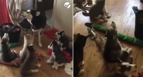 ¡Auuuu! Mamá husky enseña a aullar a sus cachorros y se vuelve viral