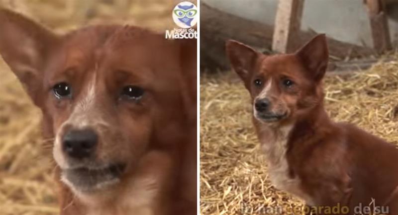 Perrito llora al ser separado de su amiga vaca. Foto: Youtube