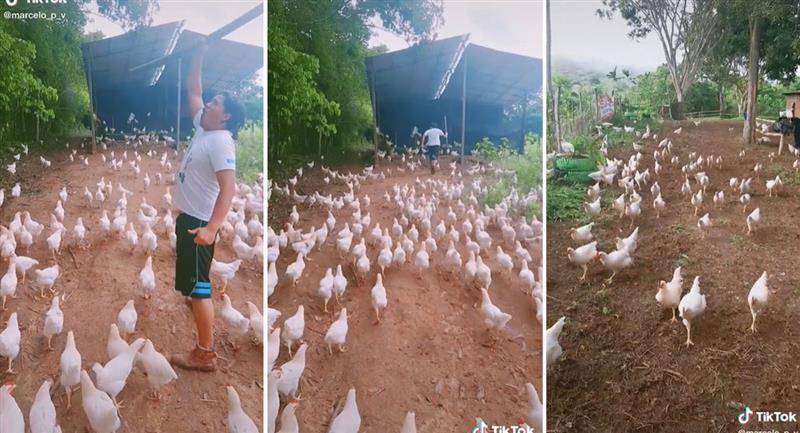 Tik Tok: Joven se vuelve viral junto a su ejército de gallinas espartanas. Foto: TikTok @marcelo_p_v